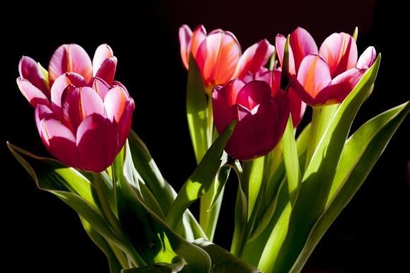 tulips-263513_1920